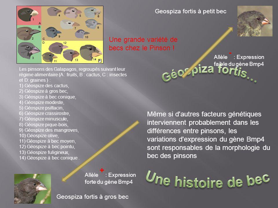 Geospiza fortis à gros bec Geospiza fortis à petit bec Même si d'autres facteurs génétiques interviennent probablement dans les différences entre pins