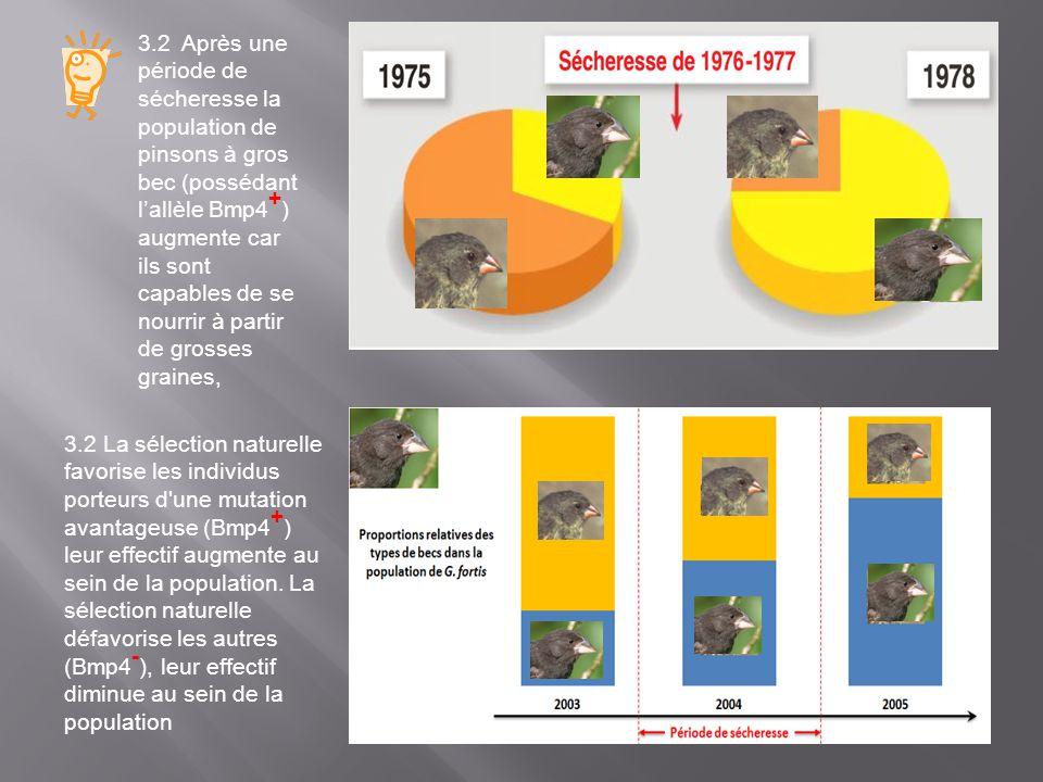 3.2 Après une période de sécheresse la population de pinsons à gros bec (possédant lallèle Bmp4 + ) augmente car ils sont capables de se nourrir à par