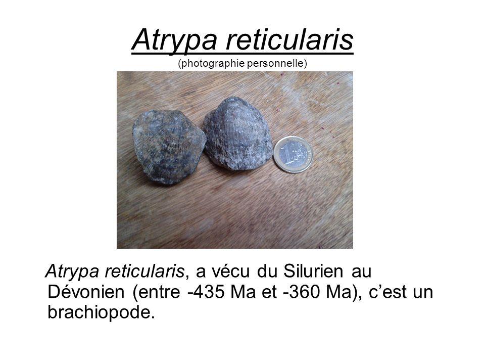 Atrypa reticularis (photographie personnelle) Atrypa reticularis, a vécu du Silurien au Dévonien (entre -435 Ma et -360 Ma), cest un brachiopode.