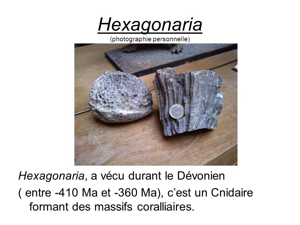 Hexagonaria (photographie personnelle) Hexagonaria, a vécu durant le Dévonien ( entre -410 Ma et -360 Ma), cest un Cnidaire formant des massifs corall