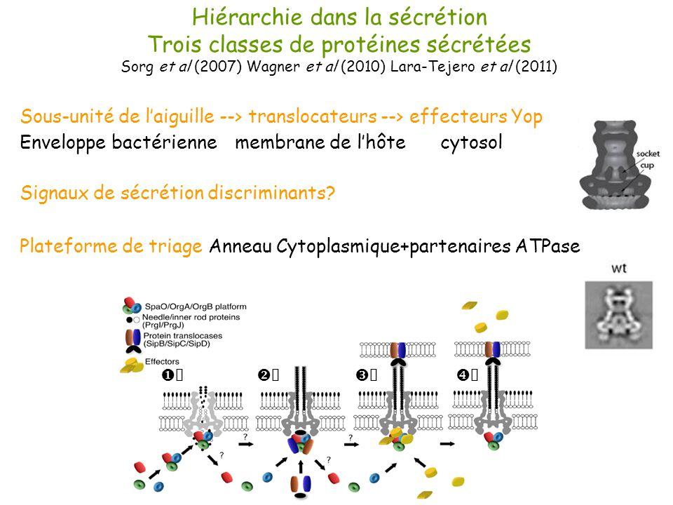 Hiérarchie dans la sécrétion Trois classes de protéines sécrétées Sorg et al (2007) Wagner et al (2010) Lara-Tejero et al (2011) Sous-unité de laiguil