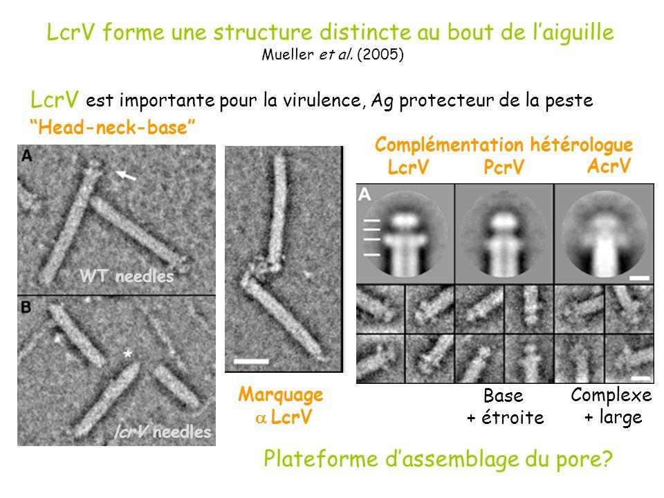 LcrV forme une structure distincte au bout de laiguille Mueller et al. (2005) LcrV est importante pour la virulence, Ag protecteur de la peste Marquag