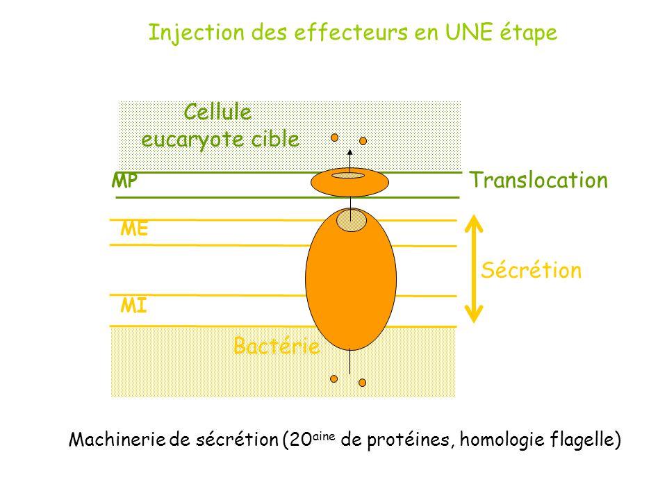ME MI MP Bactérie Cellule eucaryote cible Sécrétion Machinerie de sécrétion (20 aine de protéines, homologie flagelle) Injection des effecteurs en UNE