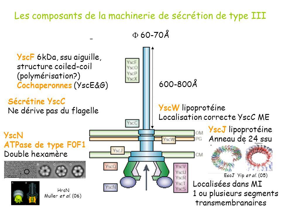600-800Å 60-70Å YscF 6kDa, ssu aiguille, structure coiled-coil (polymérisation?) Cochaperonnes (YscE&G) YscW lipoprotéine Localisation correcte YscC M