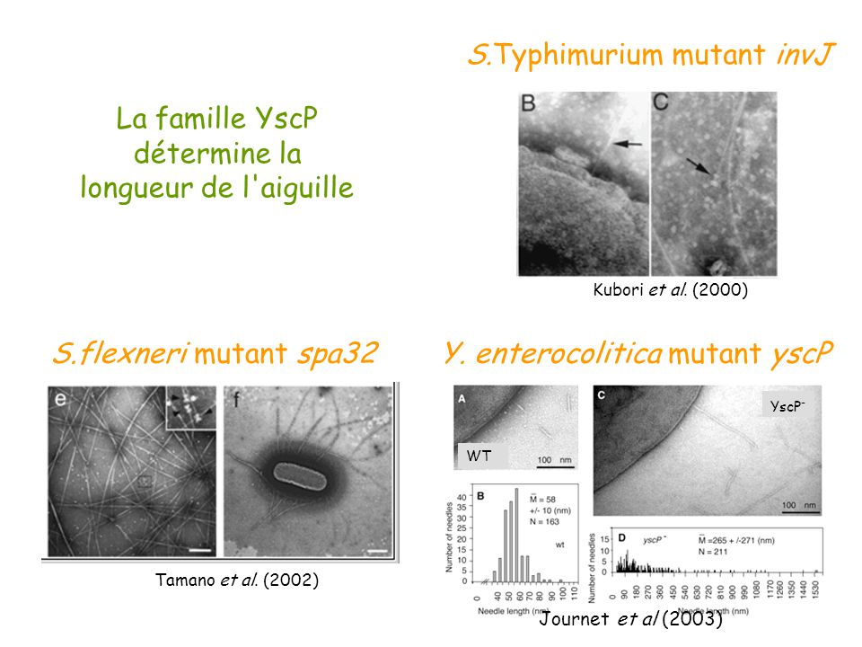 Kubori et al. (2000) S.Typhimurium mutant invJ S.flexneri mutant spa32 Tamano et al. (2002) WT YscP - Y. enterocolitica mutant yscP Journet et al (200