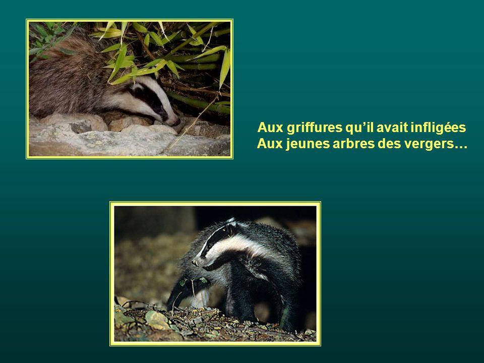 Le blaireau est la plus grosse espèce de mustélidé d Europe.