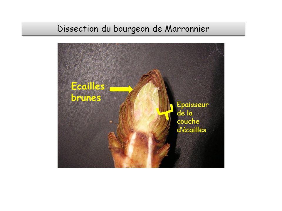 Dissection du bourgeon de Marronnier Ecailles brunes Epaisseur de la couche décailles