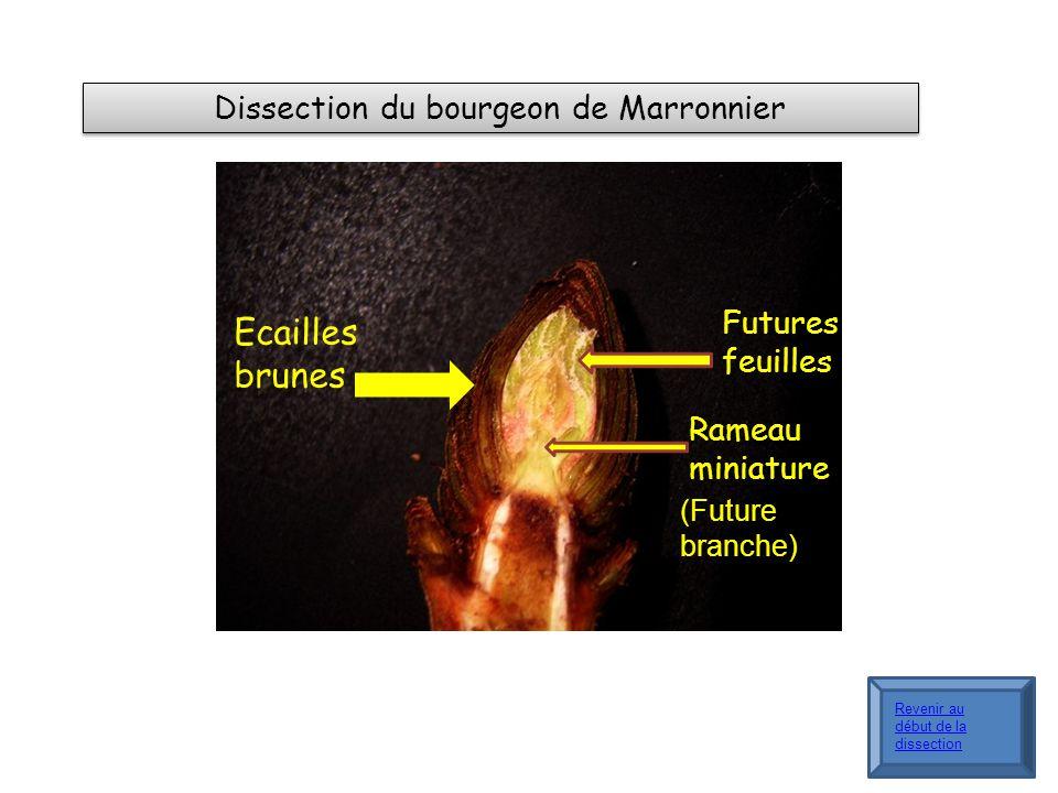 Dissection du bourgeon de Marronnier Ecailles brunes Futures feuilles Rameau miniature (Future branche) Revenir au début de la dissection