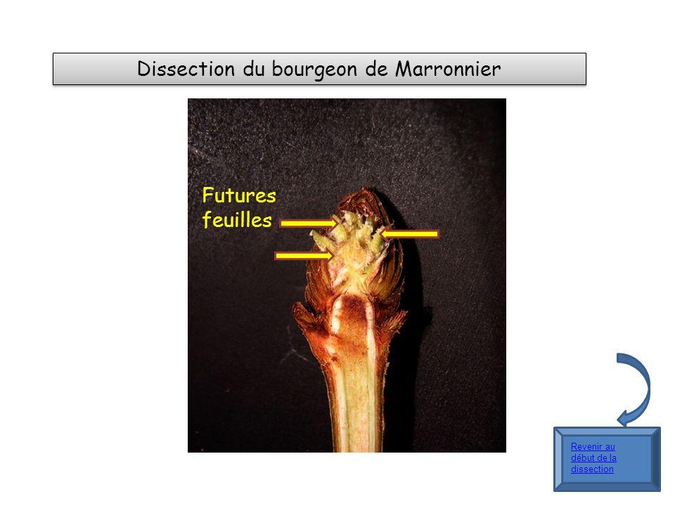 Dissection du bourgeon de Marronnier Futures feuilles Revenir au début de la dissection