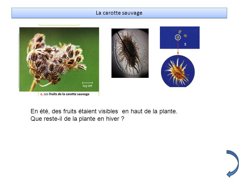 La carotte sauvage En été, des fruits étaient visibles en haut de la plante. Que reste-il de la plante en hiver ?