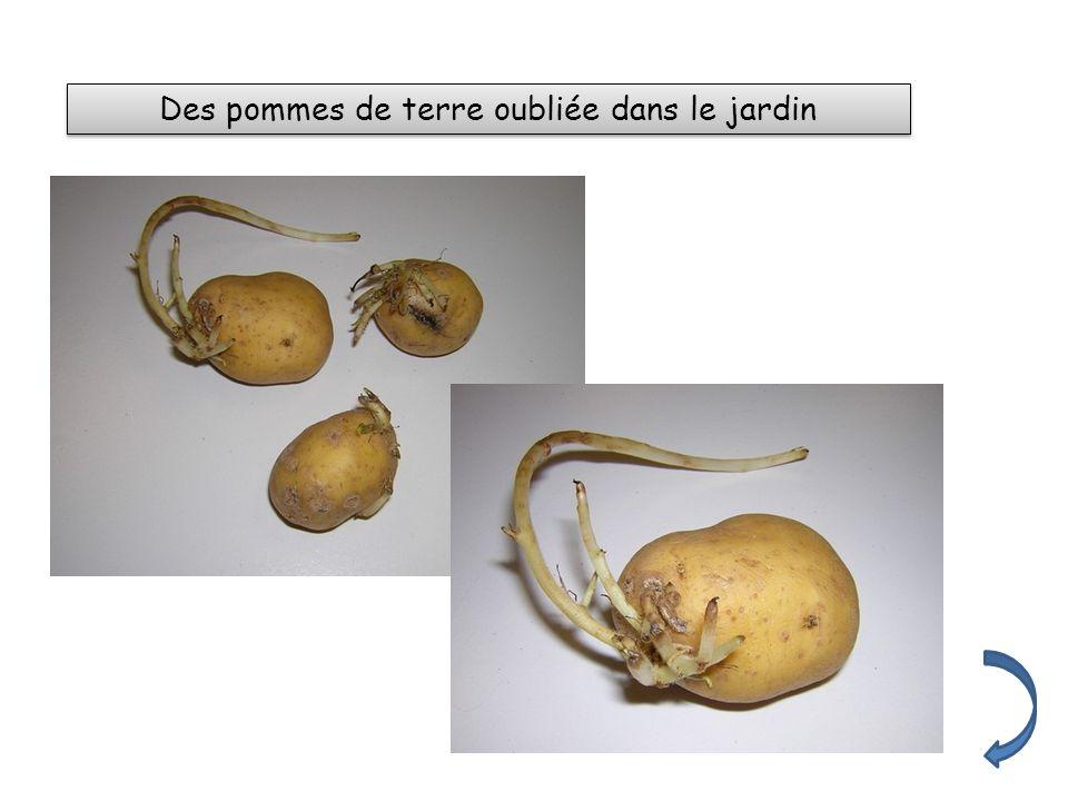 Des pommes de terre oubliée dans le jardin