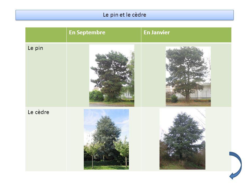 Le pin et le cèdre En SeptembreEn Janvier Le pin Le cèdre