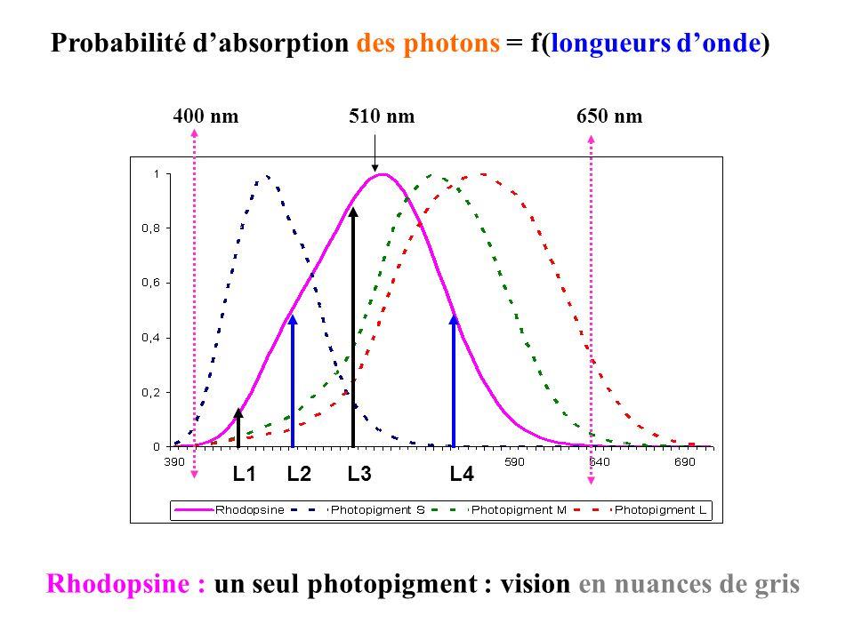 Rhodopsine : un seul photopigment : vision en nuances de gris 510 nm400 nm650 nm Probabilité dabsorption des photons = f(longueurs donde) L1 L2 L3 L4