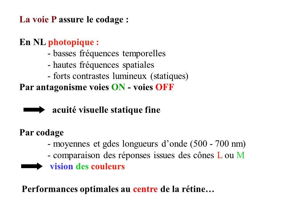 La voie P assure le codage : En NL photopique : - basses fréquences temporelles - hautes fréquences spatiales - forts contrastes lumineux (statiques) Par antagonisme voies ON - voies OFF acuité visuelle statique fine Par codage - moyennes et gdes longueurs donde (500 - 700 nm) - comparaison des réponses issues des cônes L ou M vision des couleurs Performances optimales au centre de la rétine…