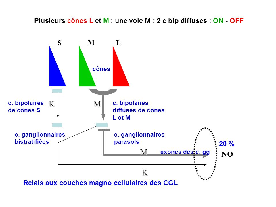K NO SML M M K c.bipolaires de cônes S c. ganglionnaires bistratifiées cônes axones des c.