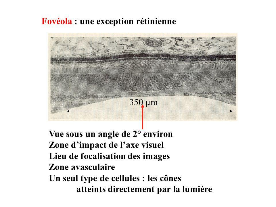 Vue sous un angle de 2° environ Zone dimpact de laxe visuel Lieu de focalisation des images Zone avasculaire Un seul type de cellules : les cônes atteints directement par la lumière Fovéola : une exception rétinienne 350 µm