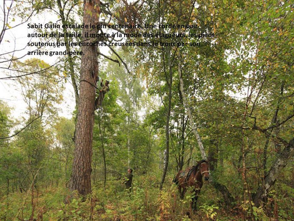 Sabit Galin se prépare pour escalader le pin centenaire. Une corde en cuir autour de la taille, il monte à la mode des élagueurs, les pieds soutenus p