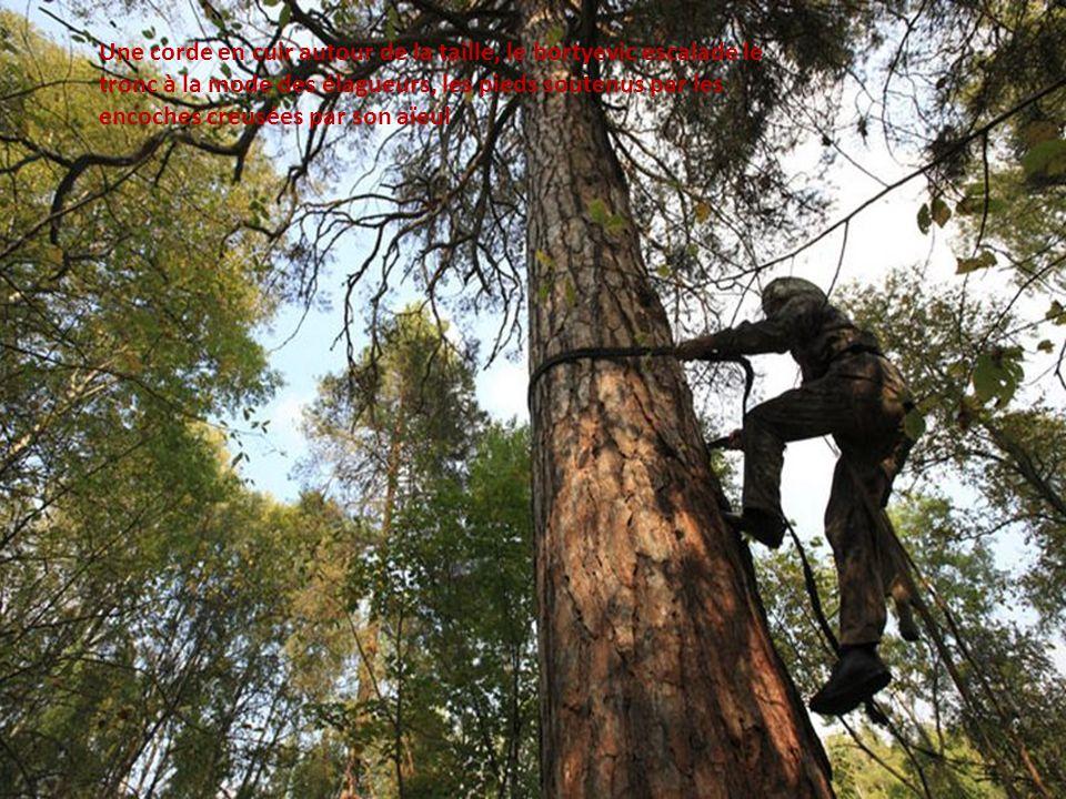 Sabit Galin escalade le pin centenaire. Une corde en cuir autour de la taille, il monte à la mode des élagueurs, les pieds soutenus par les encoches c