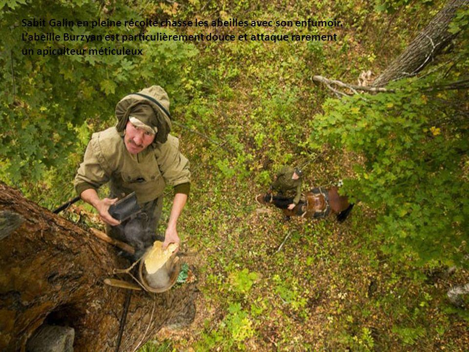 Une corde en cuir autour de la taille, le bortyevic escalade le tronc à la mode des élagueurs, les pieds soutenus par les encoches creusées par son aï