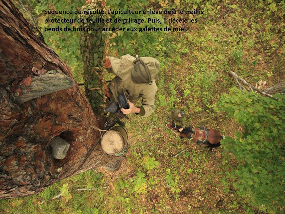 Sabit Galin perché à 8, 9 mètres du sol enfume lentrée de la ruche avant de la récolter.