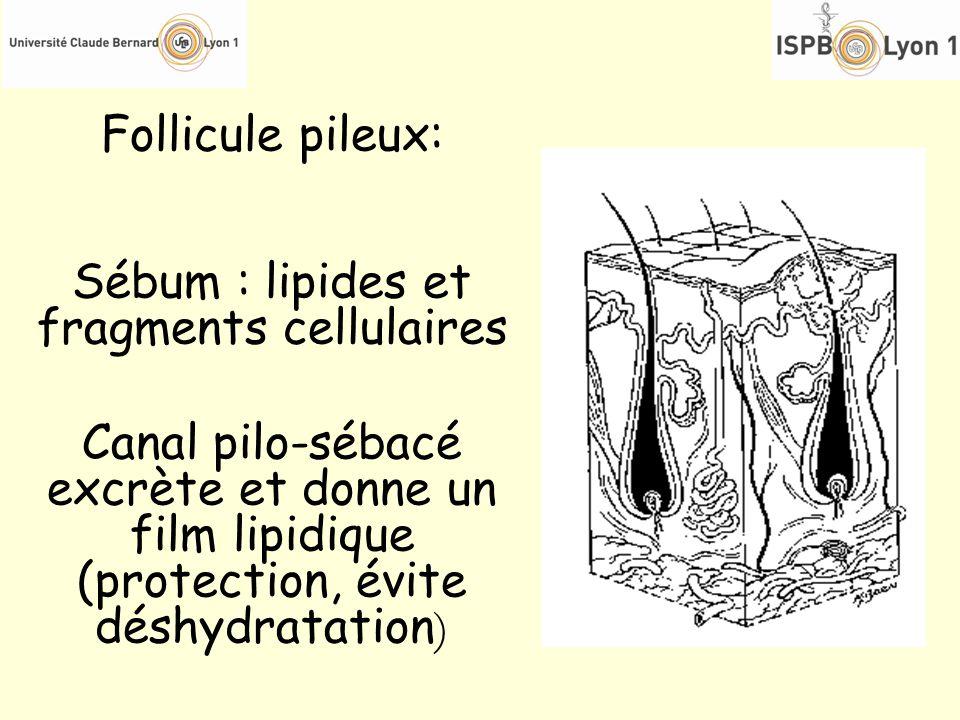Follicule pileux: Sébum : lipides et fragments cellulaires Canal pilo-sébacé excrète et donne un film lipidique (protection, évite déshydratation )