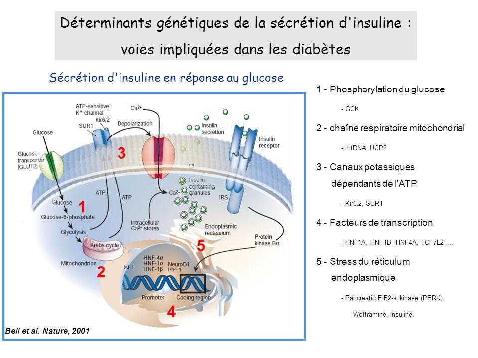1 - Phosphorylation du glucose - GCK 2 - chaîne respiratoire mitochondrial - mtDNA, UCP2 3 - Canaux potassiques dépendants de l ATP - Kir6.2, SUR1 4 - Facteurs de transcription - HNF1A, HNF1B, HNF4A, TCF7L2 … 5 - Stress du réticulum endoplasmique - Pancreatic EIF2-a kinase (PERK), Wolframine, Insuline Sécrétion d insuline en réponse au glucose Déterminants génétiques de la sécrétion d insuline : voies impliquées dans les diabètes Bell et al.