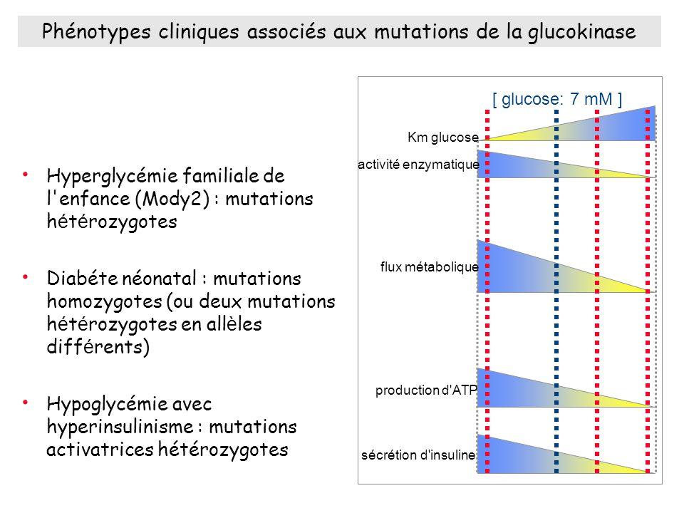 Phénotypes cliniques associés aux mutations de la glucokinase Hyperglycémie familiale de l enfance (Mody2) : mutations h é t é rozygotes Diabéte néonatal : mutations homozygotes (ou deux mutations h é t é rozygotes en all è les diff é rents) Hypoglycémie avec hyperinsulinisme : mutations activatrices hétérozygotes Km glucose activité enzymatique flux métabolique production d ATP sécrétion d insuline [ glucose: 7 mM ]