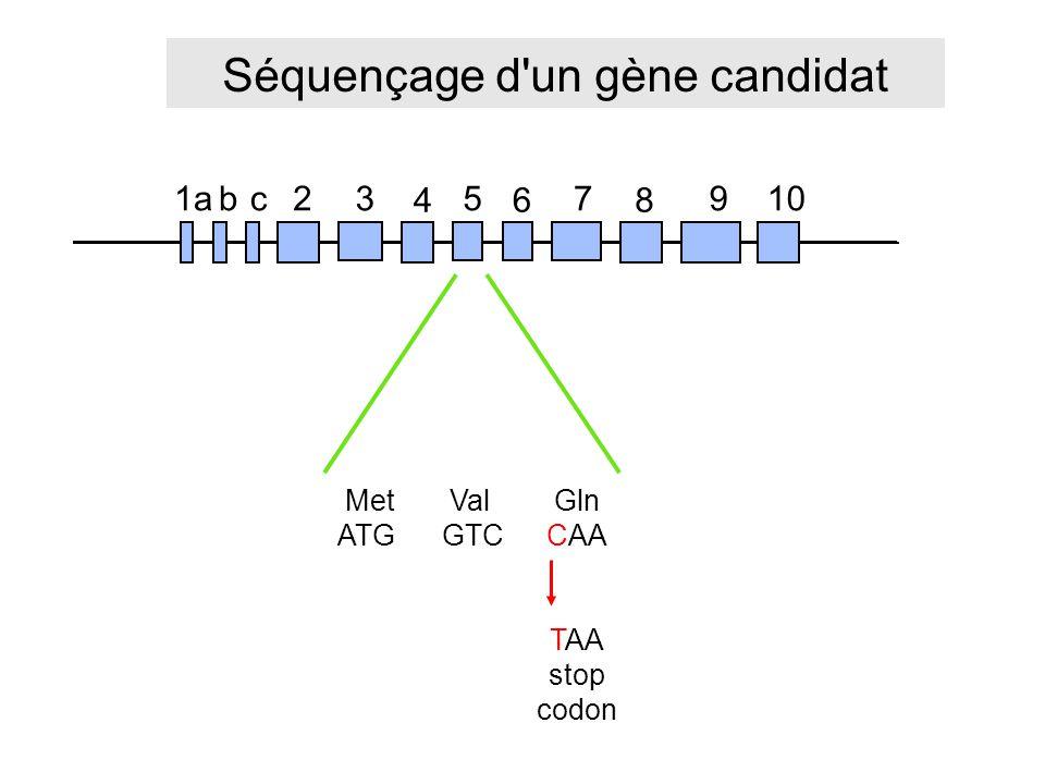 Séquençage d un gène candidat 1a23 4 5 6 7 8 910bc MetValGln ATGGTCCAA TAA stop codon
