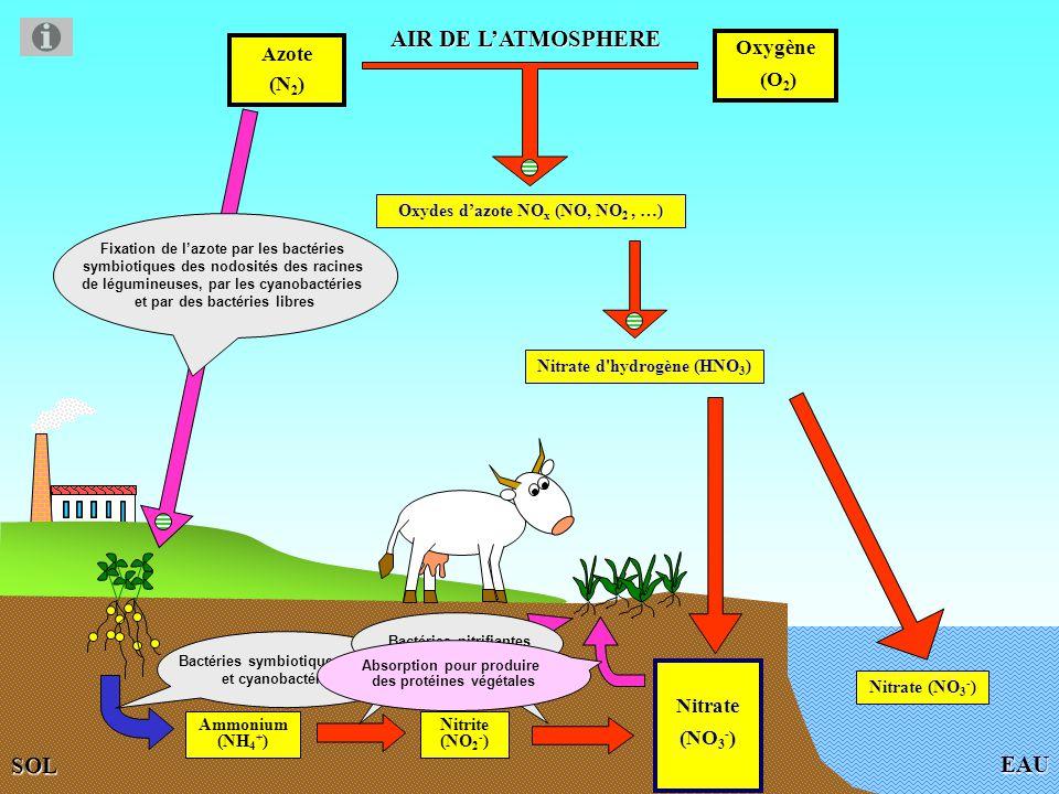 Fixation de l azote de l air Photographie des nodosités de racines d une légumineuse (haricot).