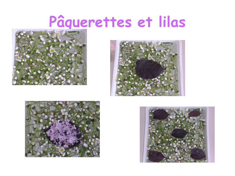 Pâquerettes et lilas