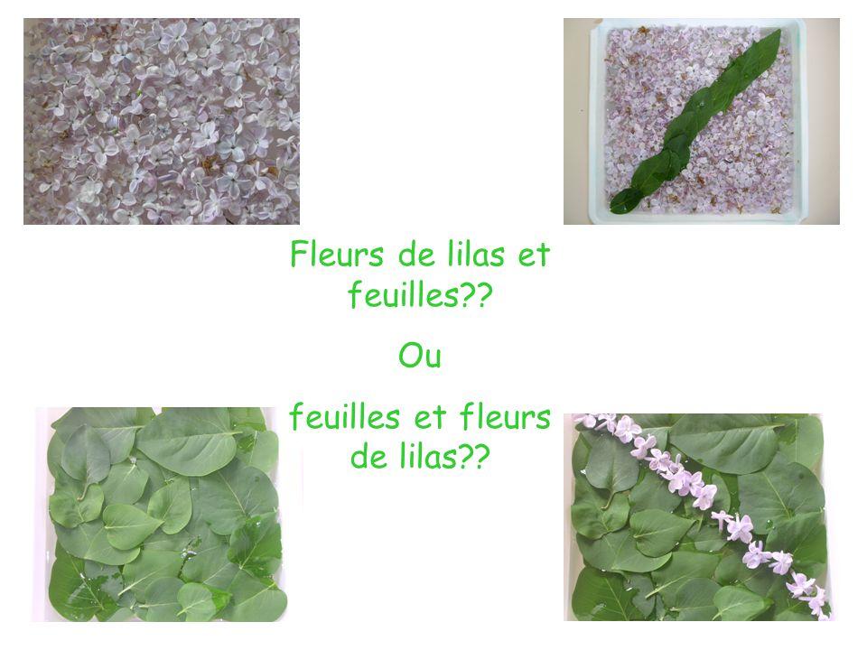 Fleurs de lilas et feuilles Ou feuilles et fleurs de lilas
