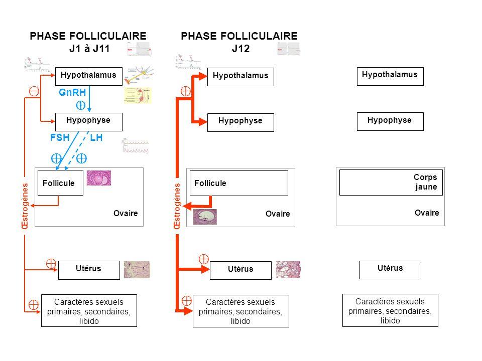Hypothalamus Ovaire Follicule Utérus Caractères sexuels primaires, secondaires, libido Hypophyse PHASE FOLLICULAIRE J1 à J11 PHASE FOLLICULAIRE J12 Ov