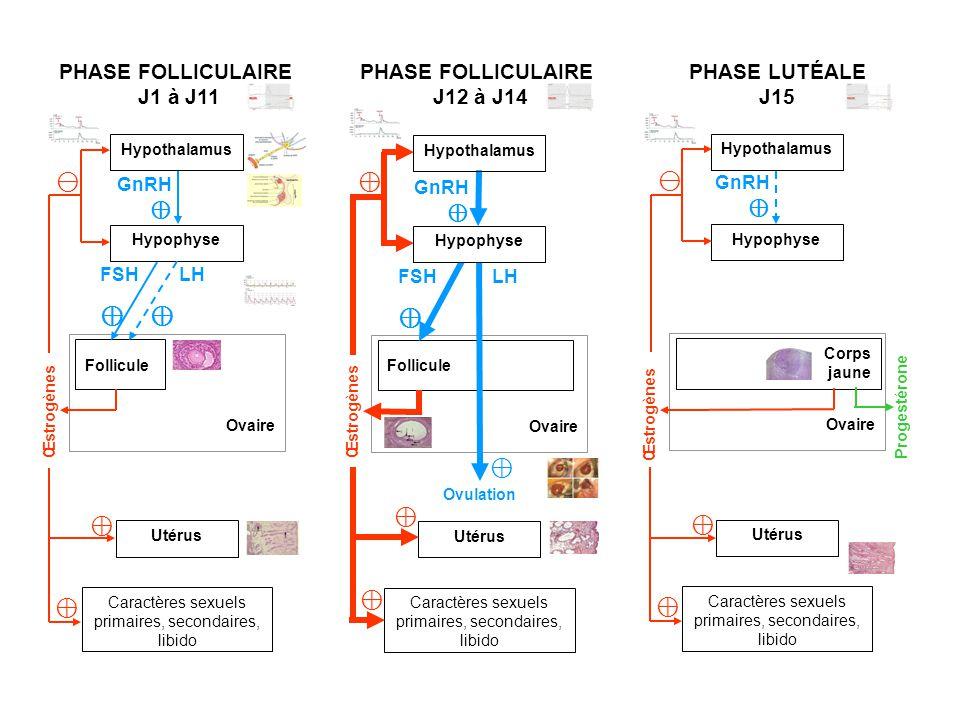 Hypothalamus Ovaire Follicule Utérus Caractères sexuels primaires, secondaires, libido Hypophyse PHASE FOLLICULAIRE J1 à J11 PHASE FOLLICULAIRE J12 à