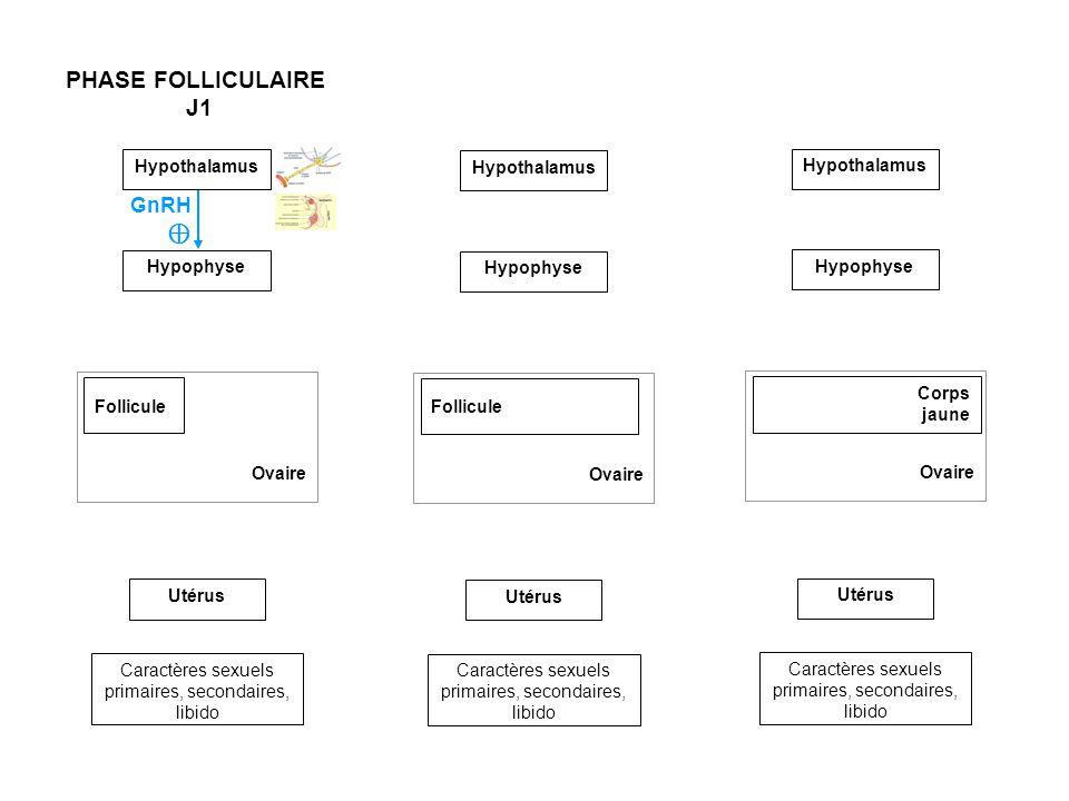 Hypothalamus Ovaire Follicule Utérus Caractères sexuels primaires, secondaires, libido Hypophyse PHASE FOLLICULAIRE J1 à J11 PHASE FOLLICULAIRE J12 à J14 Ovaire Follicule Utérus Caractères sexuels primaires, secondaires, libido Hypothalamus Hypophyse Ovaire Utérus Caractères sexuels primaires, secondaires, libido GnRH Ovulation Corps jaune FSH LH Œstrogènes Œstrogènes GnRH Hypothalamus Hypophyse FSH LH PHASE LUTÉALE J15