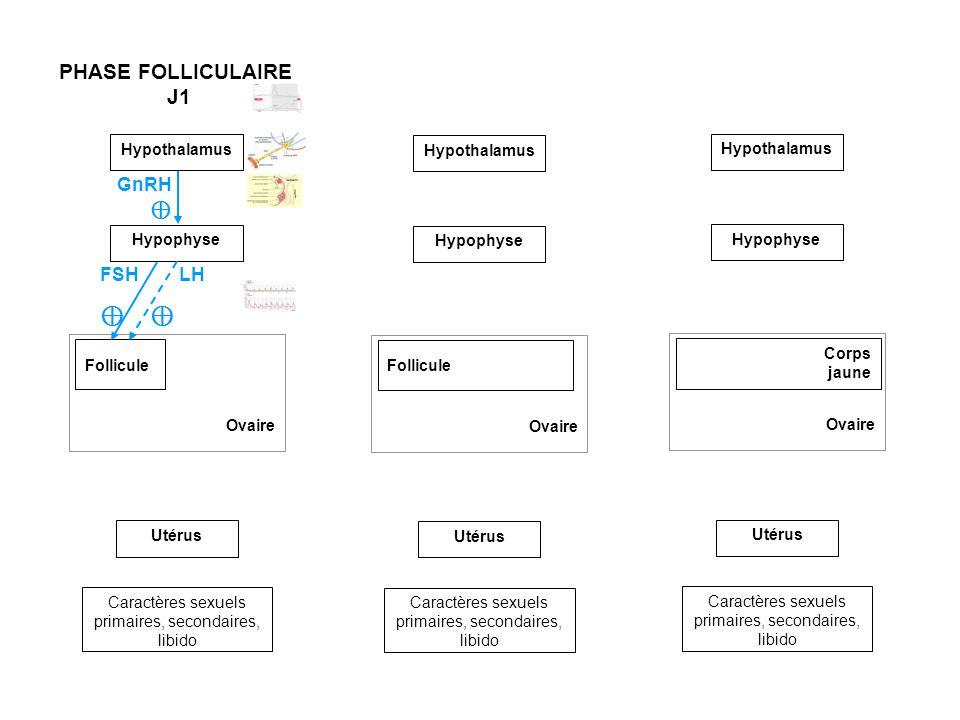 Hypothalamus Ovaire Follicule Utérus Caractères sexuels primaires, secondaires, libido Hypophyse PHASE FOLLICULAIRE J1 Ovaire Follicule Utérus Caractères sexuels primaires, secondaires, libido Hypothalamus Hypophyse Ovaire Utérus Caractères sexuels primaires, secondaires, libido GnRH Hypothalamus Hypophyse Corps jaune FSH LH Œstrogènes