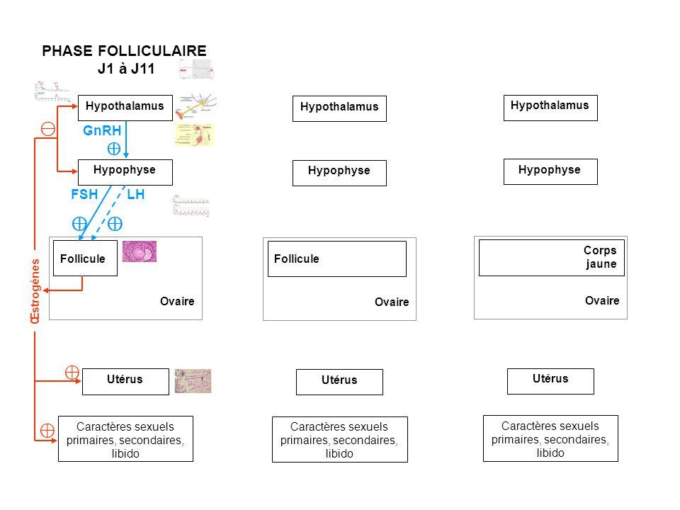 Hypothalamus Ovaire Follicule Utérus Caractères sexuels primaires, secondaires, libido Hypophyse PHASE FOLLICULAIRE J1 à J11 PHASE FOLLICULAIRE J12 à J14 Ovaire Follicule Utérus Caractères sexuels primaires, secondaires, libido Hypothalamus Hypophyse Ovaire Utérus Caractères sexuels primaires, secondaires, libido GnRH Ovulation Corps jaune FSH LH Œstrogènes Œstrogènes GnRH Hypothalamus Hypophyse FSH LH PHASE LUTÉALE J15 Œstrogènes Progestérone GnRH