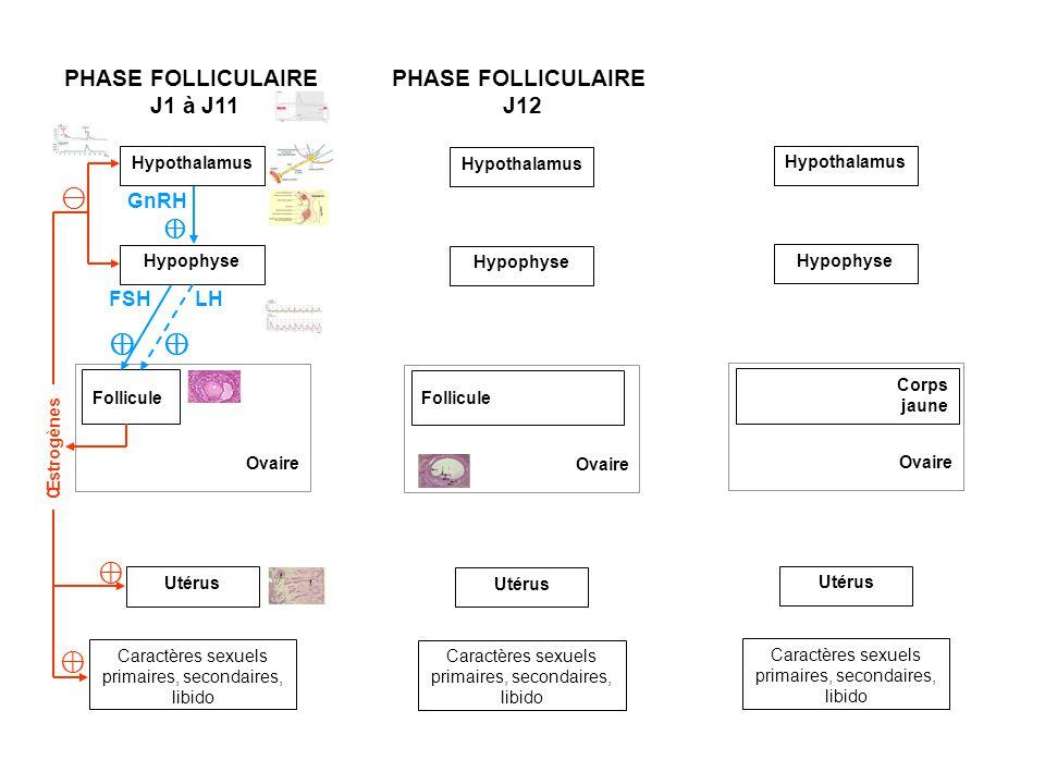 Hypothalamus Ovaire Follicule Utérus Caractères sexuels primaires, secondaires, libido Hypophyse PHASE FOLLICULAIRE J1 à J11 PHASE FOLLICULAIRE J12 à J14 Ovaire Follicule Utérus Caractères sexuels primaires, secondaires, libido Hypothalamus Hypophyse Ovaire Utérus Caractères sexuels primaires, secondaires, libido GnRH Ovulation Corps jaune FSH LH Œstrogènes Œstrogènes GnRH Hypothalamus Hypophyse FSH LH PHASE LUTÉALE J15 Œstrogènes Progestérone GnRH FSH LH