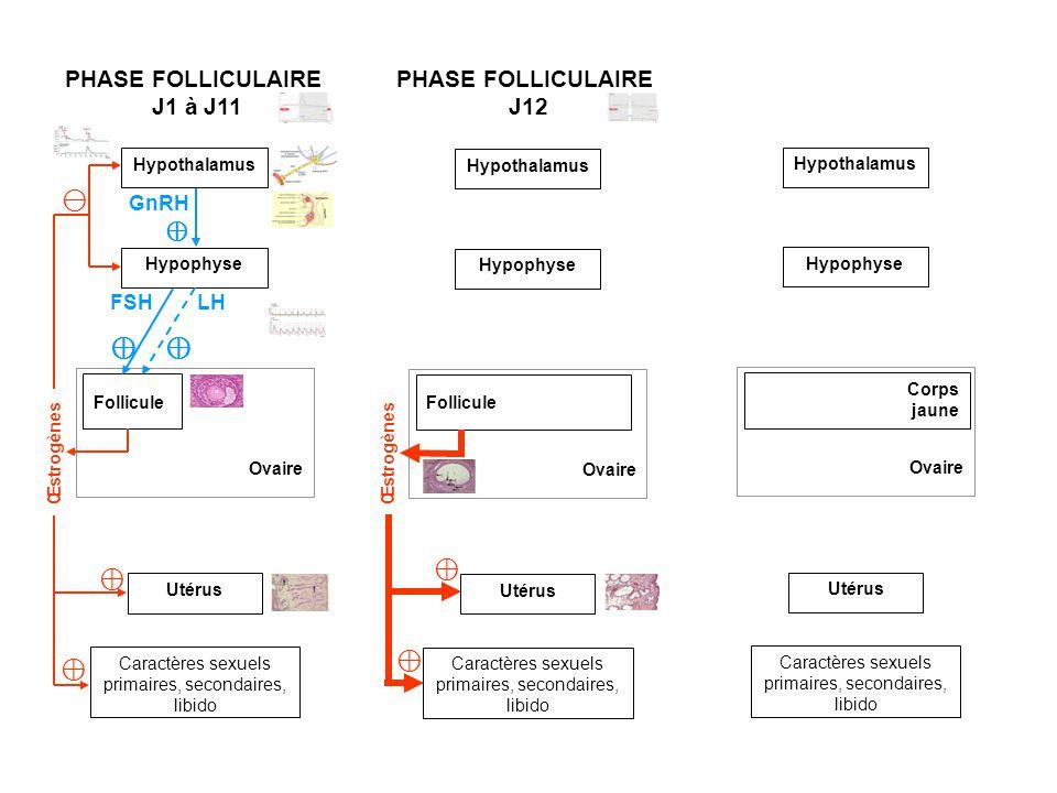 Hypothalamus Ovaire Follicule Utérus Caractères sexuels primaires, secondaires, libido Hypophyse PHASE FOLLICULAIRE J1 à J11 PHASE FOLLICULAIRE J12 Ovaire Follicule Utérus Caractères sexuels primaires, secondaires, libido Hypothalamus Hypophyse Ovaire Utérus Caractères sexuels primaires, secondaires, libido GnRH Hypothalamus Hypophyse Corps jaune FSH LH Œstrogènes Œstrogènes