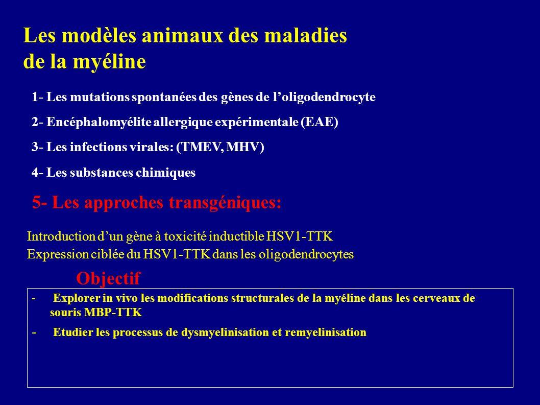 Les modèles animaux des maladies de la myéline 1- Les mutations spontanées des gènes de loligodendrocyte 2- Encéphalomyélite allergique expérimentale