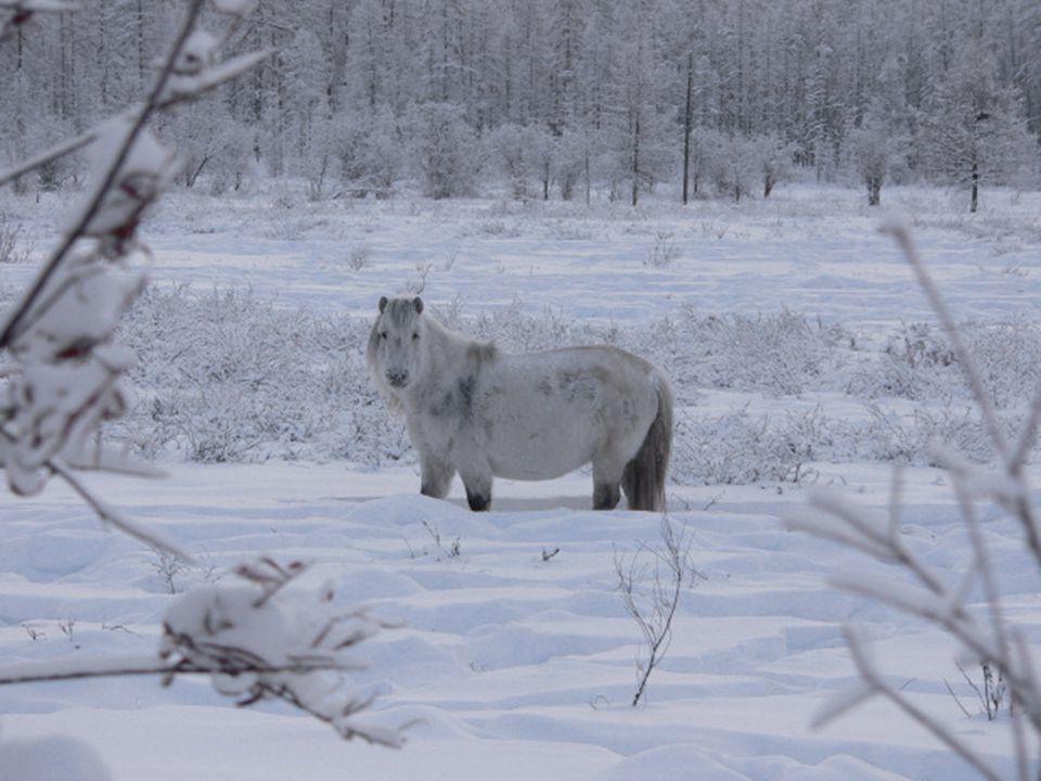 Les animaux de la zone se sont adaptés aux rigueurs du temps. Les chevaux de Oymyakon sont très robustes, aux pattes courtes et au pelage épais. Ils o