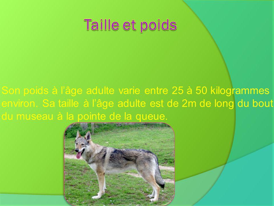 Le loup est un canidé comme les coyotes, les chacals et les chiens domestiques.