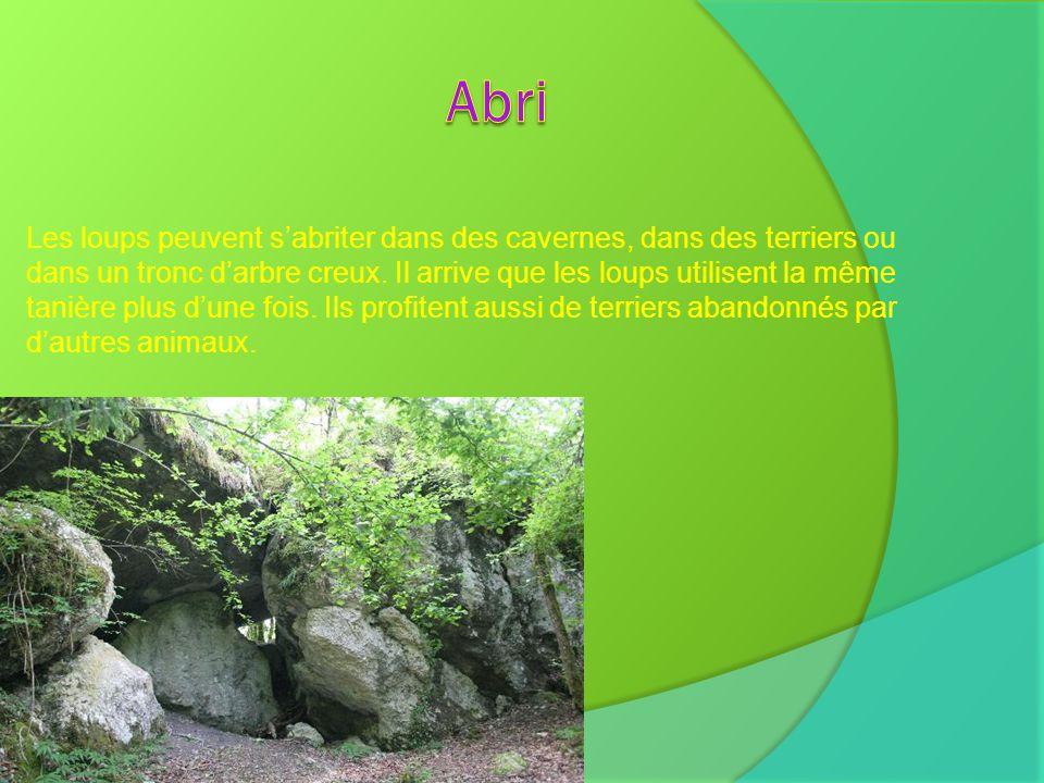 Les loups peuvent sabriter dans des cavernes, dans des terriers ou dans un tronc darbre creux. Il arrive que les loups utilisent la même tanière plus