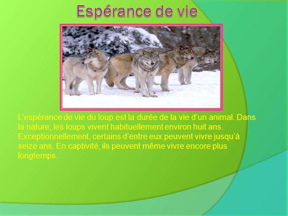 Lespérance de vie du loup est la durée de la vie dun animal. Dans la nature, les loups vivent habituellement environ huit ans. Exceptionnellement, cer