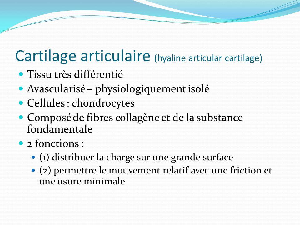 Cartilage articulaire (hyaline articular cartilage) Tissu très différentié Avascularisé – physiologiquement isolé Cellules : chondrocytes Composé de f