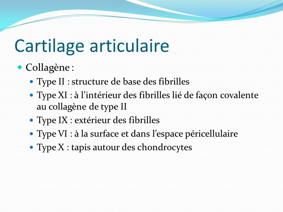 Cartilage articulaire Collagène : Type II : structure de base des fibrilles Type XI : à lintérieur des fibrilles lié de façon covalente au collagène d