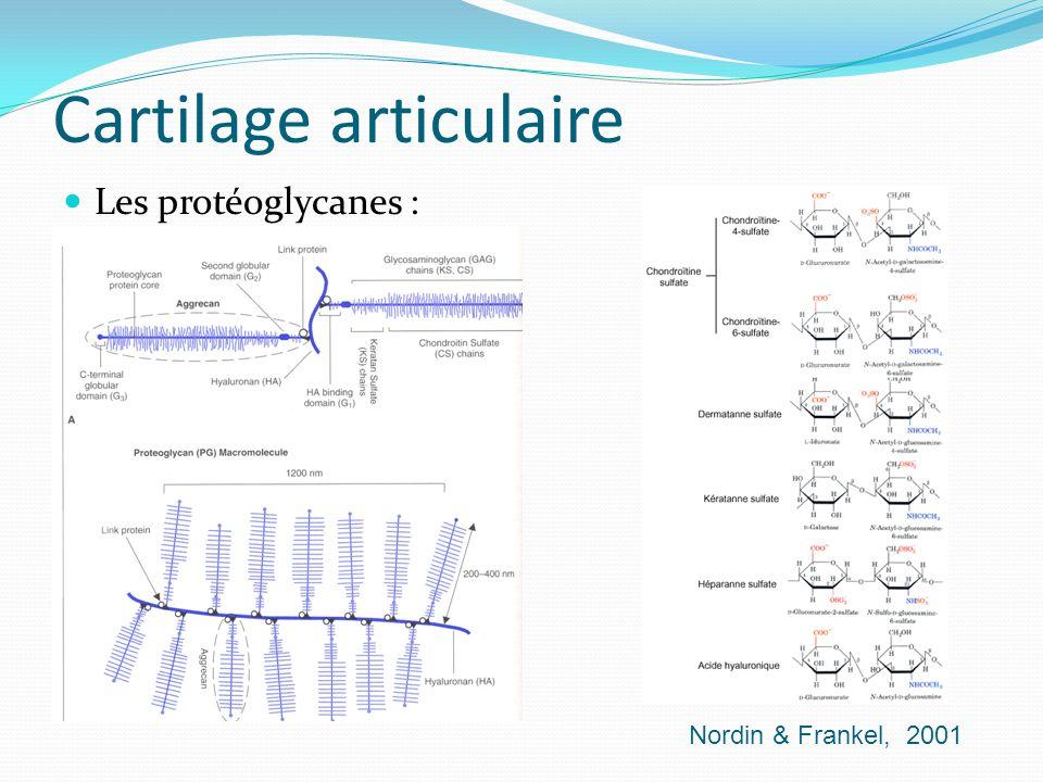 Cartilage articulaire Les protéoglycanes : Nordin & Frankel, 2001