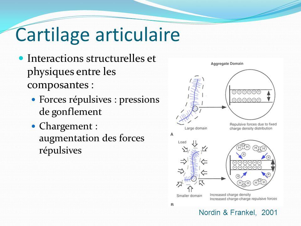 Cartilage articulaire Interactions structurelles et physiques entre les composantes : Forces répulsives : pressions de gonflement Chargement : augment