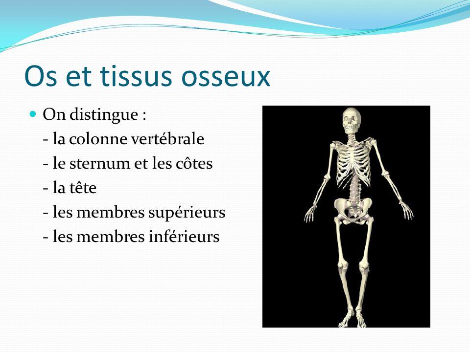 Os et tissus osseux On distingue : - la colonne vertébrale - le sternum et les côtes - la tête - les membres supérieurs - les membres inférieurs