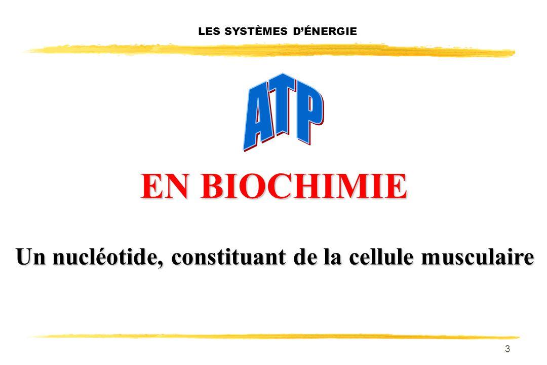 3 LES SYSTÈMES DÉNERGIE EN BIOCHIMIE EN BIOCHIMIE Un nucléotide, constituant de la cellule musculaire