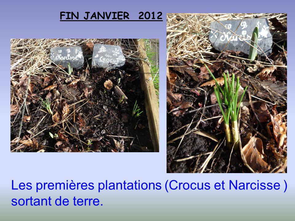 FIN JANVIER 2012 Les premières plantations (Crocus et Narcisse ) sortant de terre.